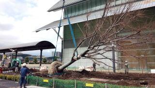 25tラフタークレーンにて荷積み。重さは平均で8tくらい。これだけの大きさになると樹皮を剥いてしまわないようにかなり慎重に行わなければなりません。