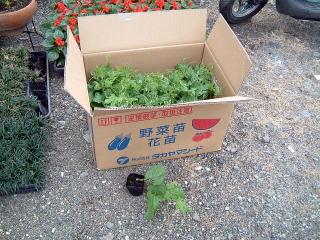 そして最後はニガウリ、そう、あのゴーヤです。ゴーヤも沖縄などでは日よけの植物として活躍しているそうです。スクスクと育ててゴーヤチャンプルーでもいただきましょう。 (あのあたたかくて苦いのがビミョーなんですが・・・)