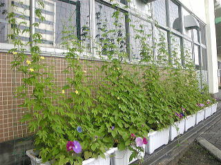 その後の経過報告です。朝顔、ウリ、ゴーヤ共に元気に育ち、緑のカーテンになってきました。朝顔の花も沢山咲いていますが、その上に点々と咲くゴーヤの黄色い花が意外と綺麗。小学校の子供達も日に日に育っていく緑のカーテンに大喜び。肥料を追肥し「もっと大きくなれ!」と祈っています。