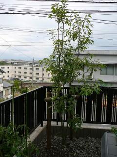 家の裏手にはシラカシとアラカシを植栽。