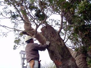 移植後は幹を日焼けから守るための幹巻きと剪定作業。
