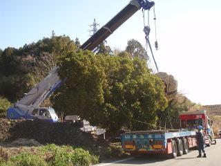 トレーラーへの積み込み。木の自重が10t以上もありますので積み込みにも一苦労です。枝を傷めないように何度も何度も向きや位置を変えます。