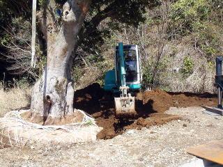 移植地へ立て込み客土を鋤き込んでいきます。根鉢の周囲に空壁が出来ないよう、枯れ草を入れたり水で土を流しこんだりを何度も何度も繰り返します。