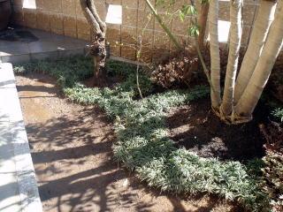 樹木の足元には玉竜をぎっしり植え縁取り。