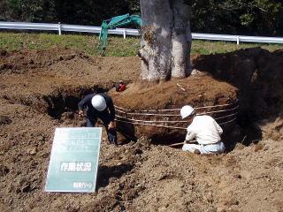 ユンボで周囲を掘り、後は手作業で根を切り丁寧に根鉢を作っていきます。