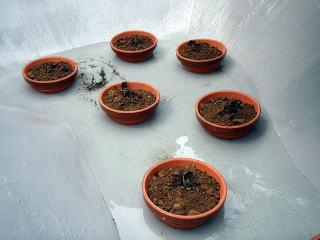 施工前に取り出した睡蓮たち。綺麗に洗い根をトリミングして新しい鉢へ。
