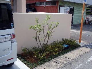 道路に面している植樹帯。背のたかいのはリキュウバイ、足元にはコクチナシ。