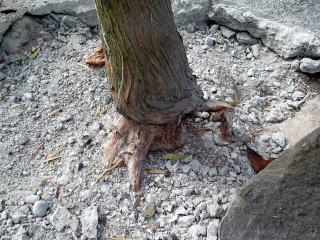 コンクリートを研ってみるとやはり樹木の成長に影響しているのがよくわかります。木によっては5センチくらい食い込んでいました。